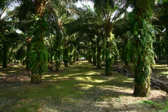 Oil Palm Estate Stock Image