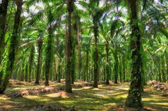 Oil Palm Estate Stock Photo