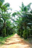 Oil Palm Estate Royalty Free Stock Photos