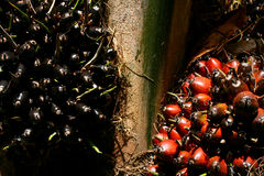 Oil Palm Fruit Royalty Free Stock Image