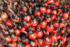 Oil palm fruit Stock Photos
