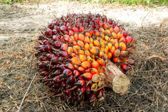 Oil palm fruit bunches Stock Photos