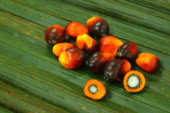 Oil Palm Fruitlets. On oil palm leaves Stock Images