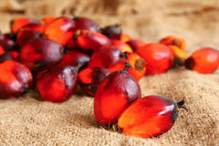 Oil Palm Fruitlets Royalty Free Stock Photos