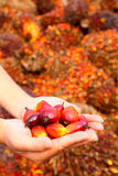 Oil palm fruits Royalty Free Stock Photos