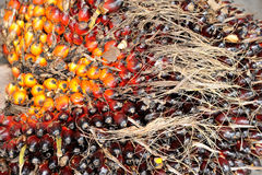 Oil Palm fruits background. Close up of Oil Palm fruits background Royalty Free Stock Photo