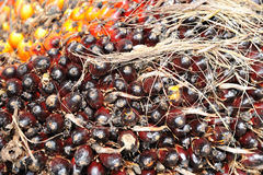 Oil Palm fruits background Stock Photo