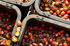 Oil palm fruits Stock Image