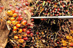 Oil palm fruits Royalty Free Stock Photography