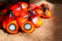Oil Palm Fruits with cut fruit Royalty Free Stock Photography