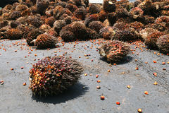 Oil palm fruits Royalty Free Stock Images
