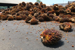 Oil palm fruits in palm oil factory - Series 3 Royalty Free Stock Photography