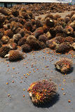 Oil palm fruits in palm oil factory - Series 4 Stock Image