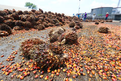 Oil palm fruits in palm oil factory - Series 5 Royalty Free Stock Photos