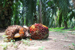 Oil palm fruits in plantation Royalty Free Stock Image