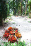 Oil palm fruits in plantation - Series 3 Stock Photo