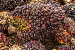 Oil palm fruits Stock Photo