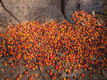Oil palm fruits before processing. Stock Image