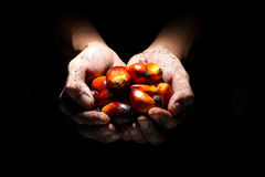 Oil palm fruits on soil covered hands Stock Photography