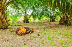Oil palm in garden. Is ready to harvest Stock Photography