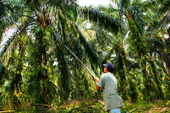 Oil Palm Harvesting Royalty Free Stock Photos