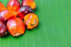 Oil palm Royalty Free Stock Photography