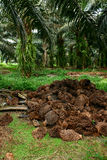 Oil Palm mulching Stock Image