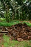 Oil Palm mulching Stock Image
