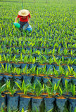 Oil palm nursery Royalty Free Stock Image