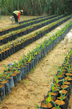 Oil palm nursery Stock Image
