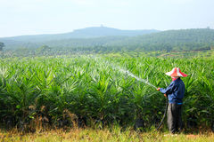 Oil Palm Nursery. A worker sprays water over young oil palm trees Royalty Free Stock Photography