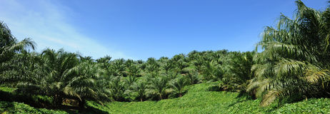 Oil Palm Plant. In Malaysia royalty free stock photography