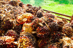 Oil palm Royalty Free Stock Image
