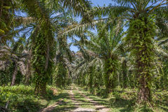 Oil palm plantation Royalty Free Stock Image