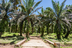 Oil palm plantation Stock Photos
