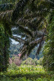 Oil palm plantation Stock Photography