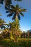Oil palm plantation Stock Photography