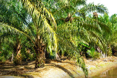 Oil Palm Plantation Royalty Free Stock Photos