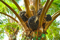 Oil Palm Plantation Royalty Free Stock Images