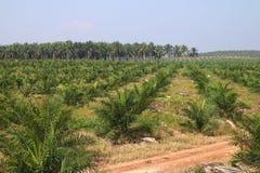 Oil palm plantation Royalty Free Stock Image