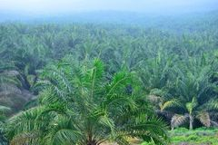 Oil Palm Plantation. In Malaysia Royalty Free Stock Photography