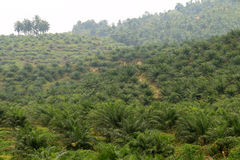 Oil palm plantation - Series 6 Royalty Free Stock Photography