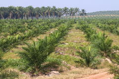 Oil palm plantation - Series 2 Royalty Free Stock Photos