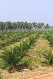 Oil palm plantation - Series 3 Stock Images