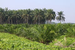 Oil palm plantation - Series 5 Royalty Free Stock Images