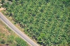 Oil palm plantation. In the south of Thailand stock photo