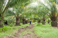 Oil Palm Plantation Royalty Free Stock Photo