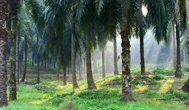 Oil Palm Plantations Royalty Free Stock Photography