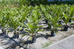 Oil palm sapling Royalty Free Stock Image