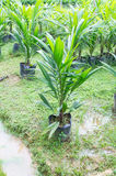 Oil palm sapling for  planting. 12 month old's oil palmsapling for  planting Stock Image
